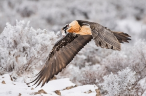 https://www.naturephotoportal.com/wp-content/gallery/jose-pesquero-showcase/Bird_Photography-Nature_Photo_Portal-Jose_-Pesquero-Bearded-Vulture.jpg