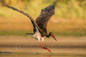 https://www.naturephotoportal.com/wp-content/gallery/jose-pesquero-showcase/Bird_Photography-Nature_Photo_Portal-Jose_-Pesquero-Black-Stork.jpg
