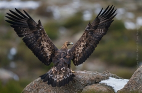Bird_Photography-Nature_Photo_Portal-Jose_-Pesquero-Golden-Eagle-1