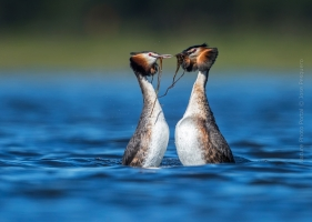 Bird_Photography-Nature_Photo_Portal-Jose_-Pesquero-Great-Crested-Grebe