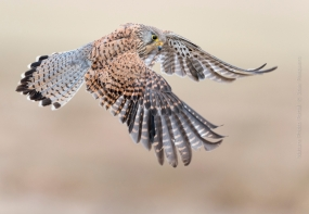 Bird_Photography-Nature_Photo_Portal-Jose_-Pesquero-Kestrel