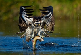 Bird_Photography-Nature_Photo_Portal-Jose_-Pesquero-Osprey-1