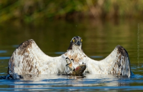 Bird_Photography-Nature_Photo_Portal-Jose_-Pesquero-Osprey-2