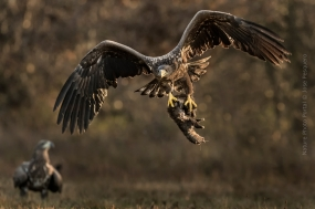 Bird_Photography-Nature_Photo_Portal-Jose_-Pesquero-White-Tailed-agle-1