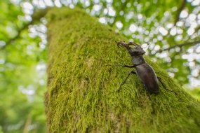 Stag Beetle (Luvanus cervus) climbing on moss covered oak branch