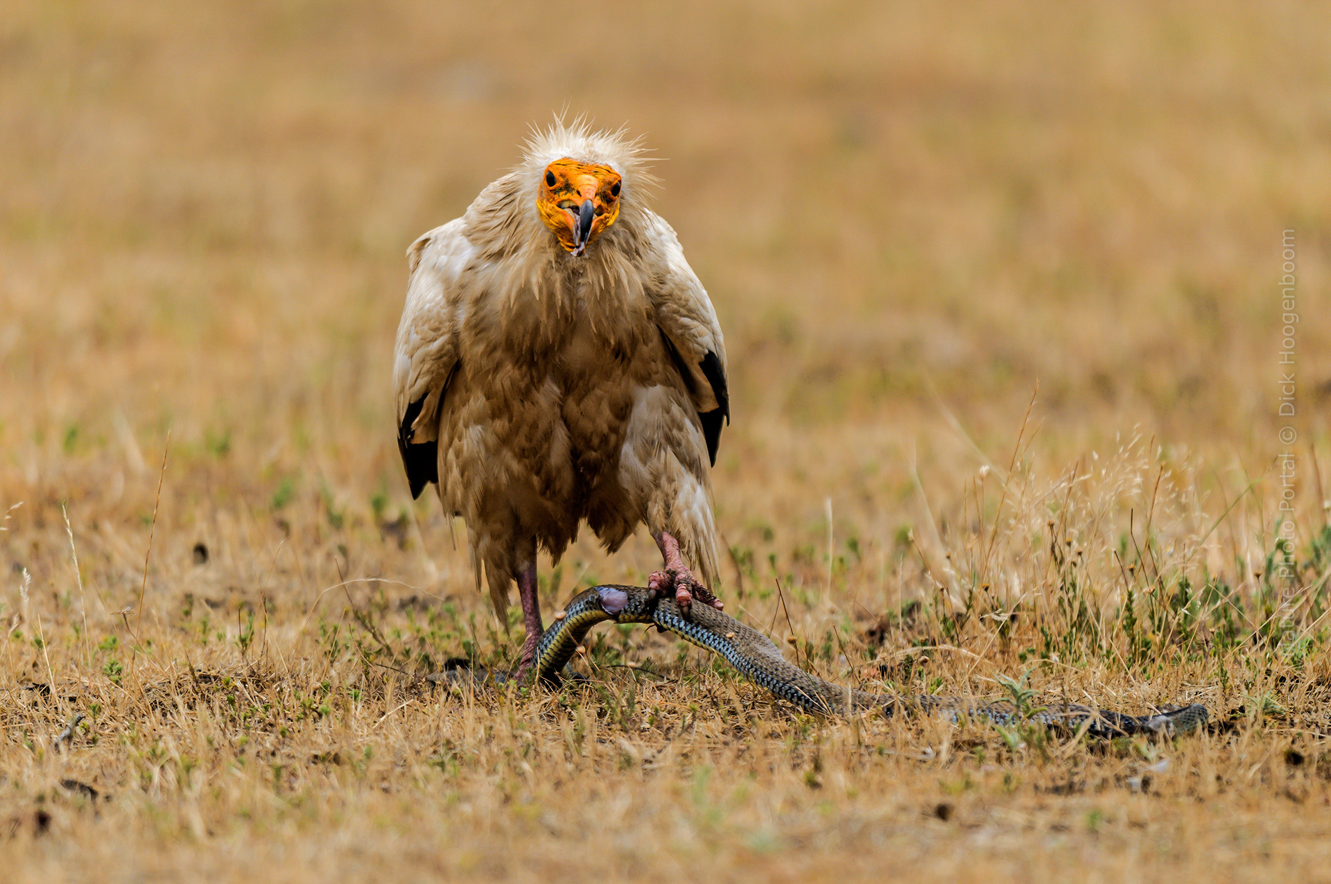 Bird photography Nature Photo Portal Dick Hoogenboom Extremadura Egyptian Vulture with Snake