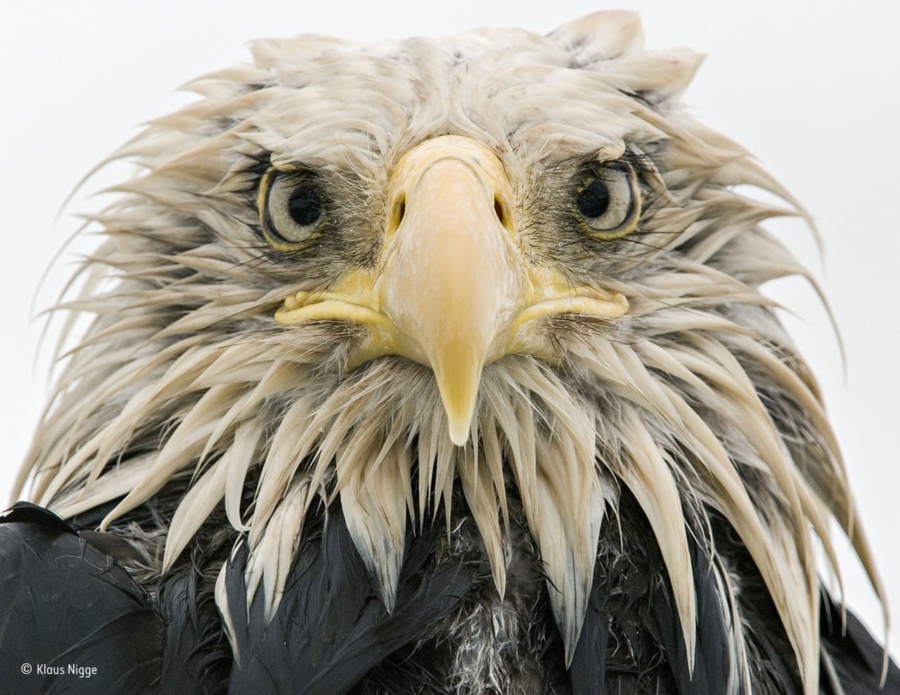 Bold eagle © Klaus Nigge - Wildlife Photographer of the Year